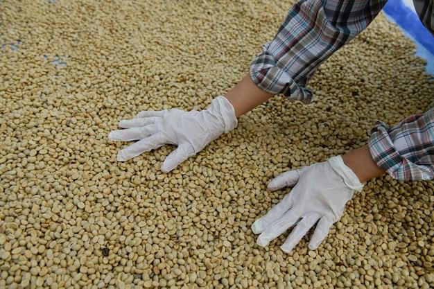 표백 과정을 거쳐 경화 및 가공된 커피 원두의 품질을 검사합니다.