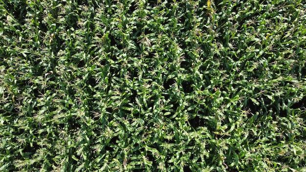 농업 분야에서 녹색 옥수수의 우수한 성장. 옥수수 작물의 높은 수확량.