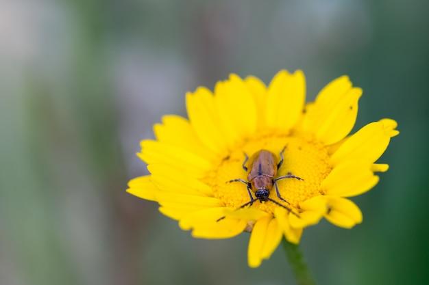 Exosoma lusitanicum, yellow flower