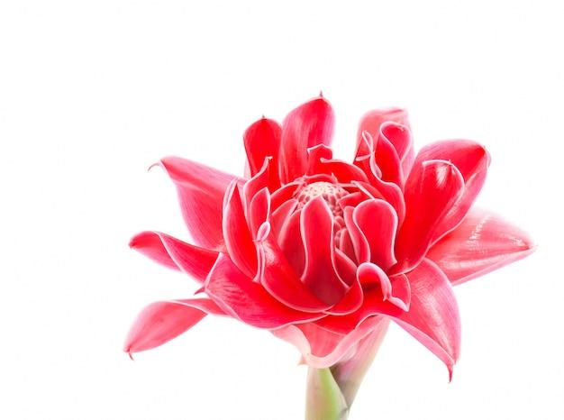 Bellezza esotica fiore etlingera singolo