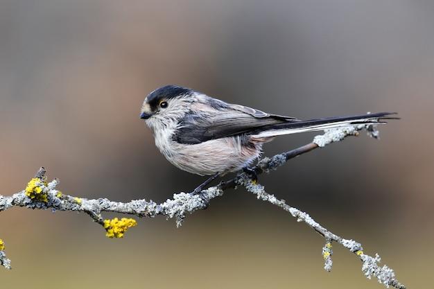 나무의 얇은 가지에 앉아 이국적인 검은 색과 파란색 새
