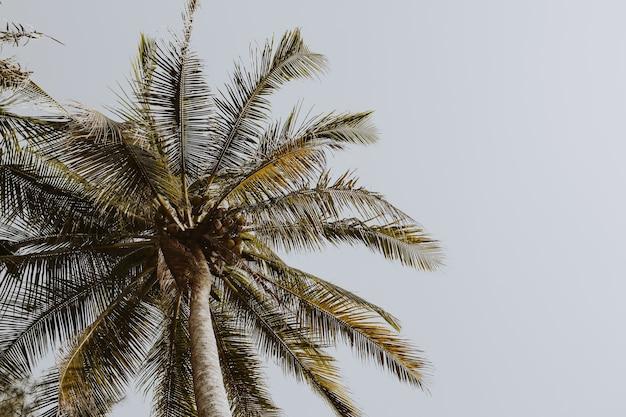 レトロまたはヴィンテージの色とトーンで青い空を背景にエキゾチックなココナッツグリーンのヤシの木
