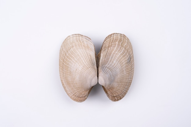 Exotic double sea shells isolated on white background. concept of lungs. macro shoot top view