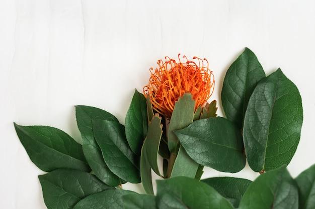 이국적인 꽃 leucospermum