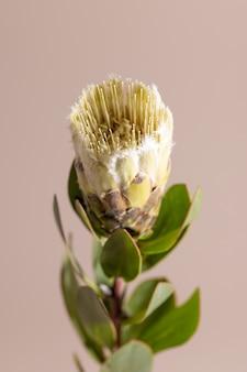 エキゾチックな花のプロテアとベージュの背景の影は、ポスターの最小限の花の植物の概念をクローズアップ