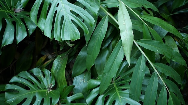 Exotic monstera jungle rainforest tropical atmosphere. fresh juicy frond leaves, amazon dense overgrown deep forest. dark natural greenery lush foliage. evergreen ecosystem. paradise calm aesthetic.
