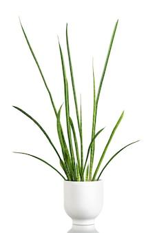 격리 된 흰색 배경에 도시 정글에 대 한 흰색 냄비에 이국적인 식물 sansevieria