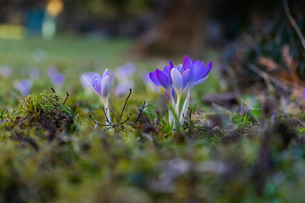 Exotic purple flowers on a moss covered field