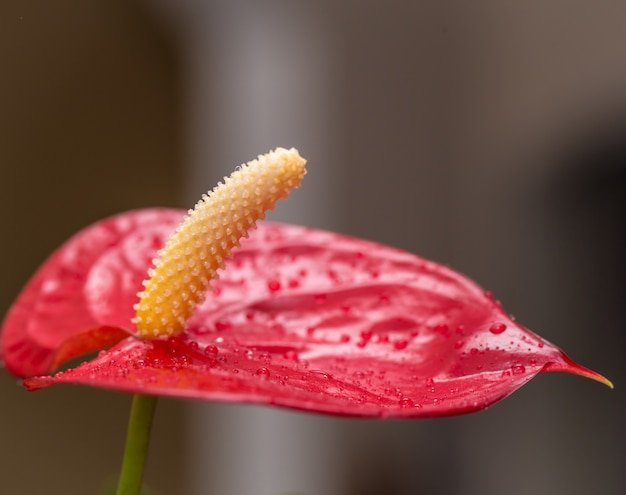Exotic red flower closeup with water drops