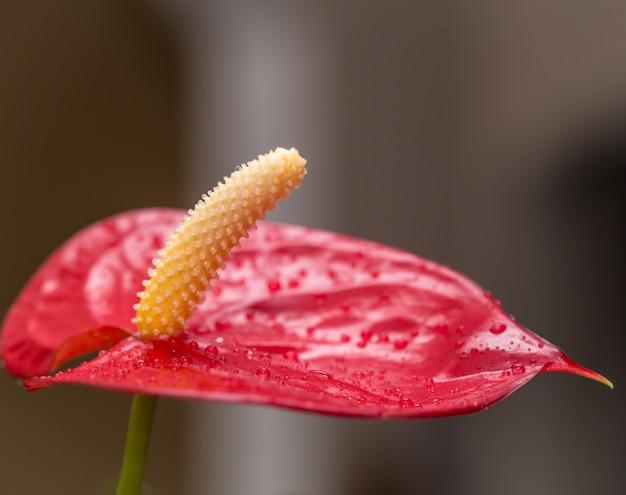 水滴とエキゾチックな赤い花のクローズアップ