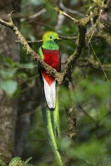 Exotic resplendent quetzal sitting on a branch in rainforest