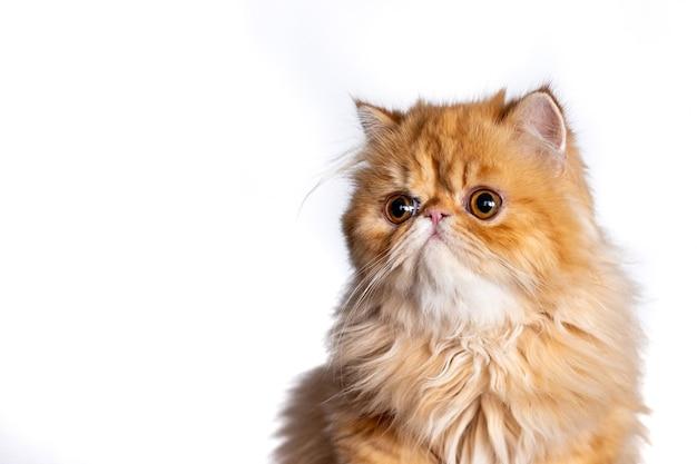 Exotic short hair cat posing on white background