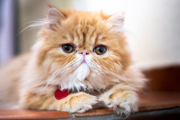 Экзотическая короткошерстная кошка позирует