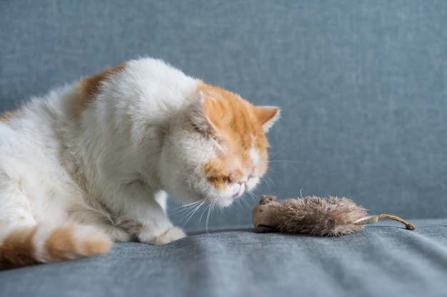 Exotic shorthair cat look at fake mouse
