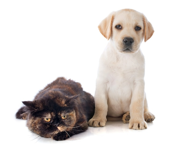 Exotic shorthair cat and puppy