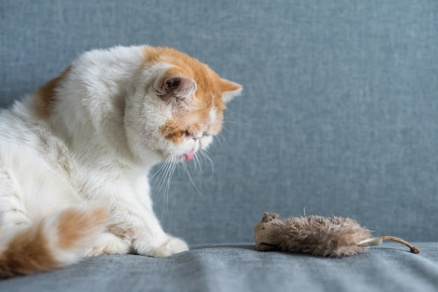 Exotic shorthair cat with fake mouse