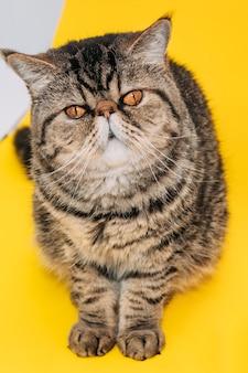 노란색 바탕에 노란색 눈을 가진 이국적인 쇼트헤어 고양이. 태비