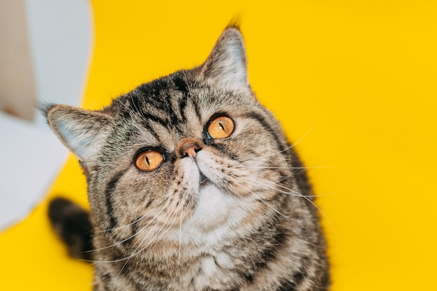 Exotic shorthair cat with yellow eyes on a yellow background. tabby