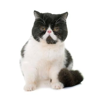 이국적인 쇼트 헤어 고양이