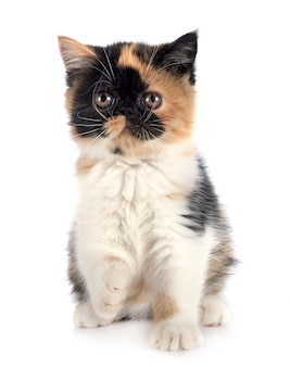 Exotic shorthair dog