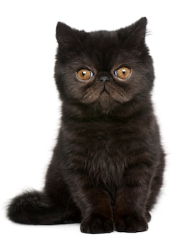 Exotic shorthair kitten (4 months old), exotic shorthair kitten