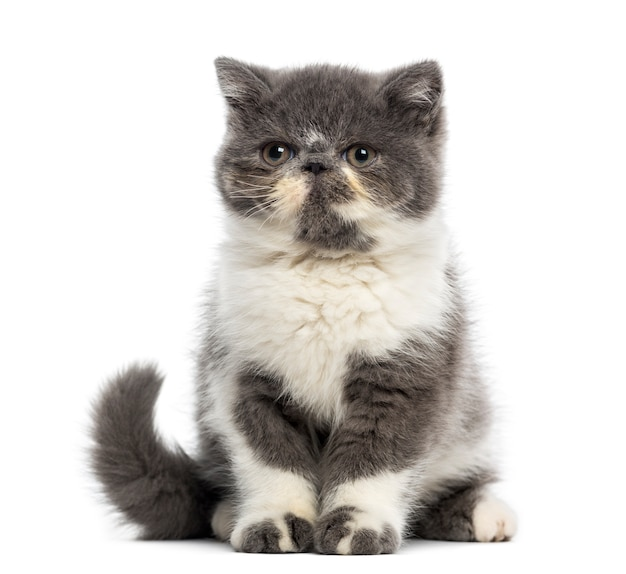 Exotic shorthair kitten in front of a white wall