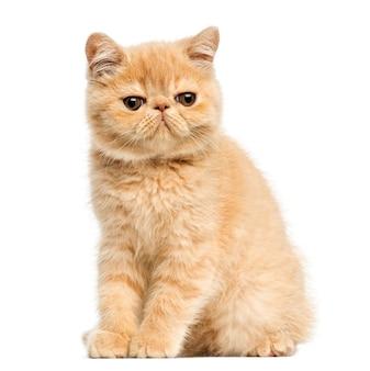 白で隔離される座っているエキゾチックなアメショーの子猫