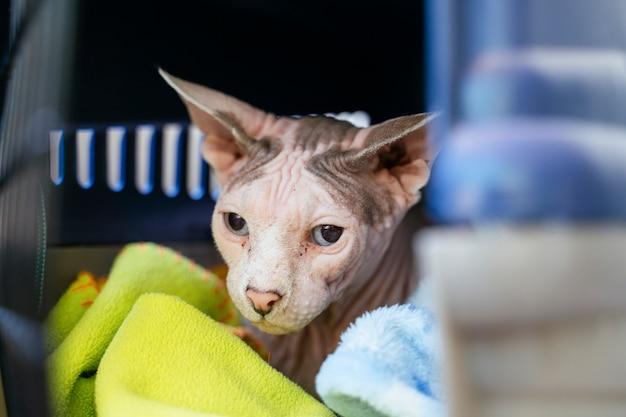 獣医クリニックでのエキゾチックなスフィンクス猫。不健康な顔のクローズアップと詳細。