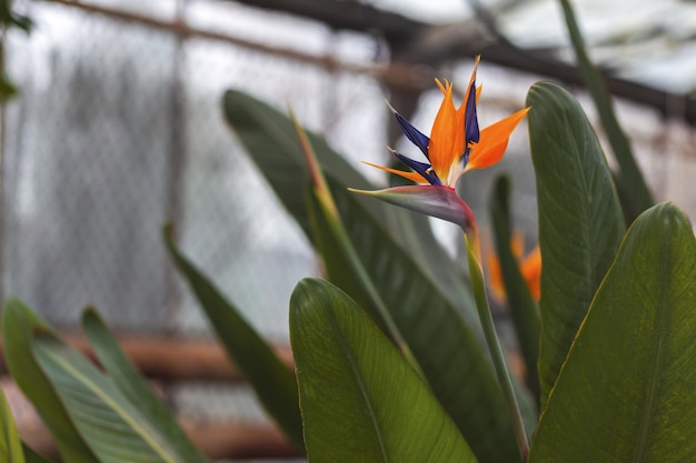 Exotic tropical flower of strelitzia in greenhouse