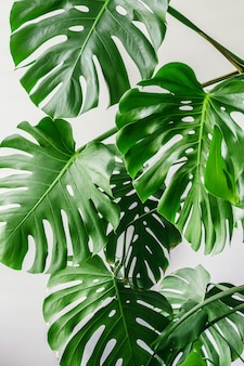 Exotic tropical monstera palm leaves at home