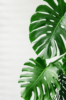 Exotic tropical monstera palm leaves at home,