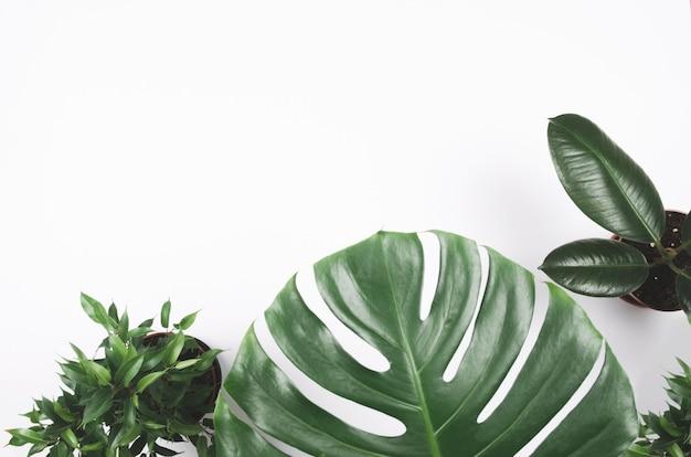 흰색 배경에 몬스 테라와 무화과 나무와 이국적인 열대 식물 프레임