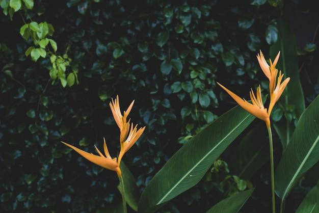 Exotic yellow heliconia psittacorum