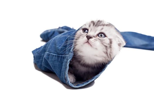 Изучение новых мест. игривый котенок шотландской вислоухой, выглядывающий из-под штанины джинсов