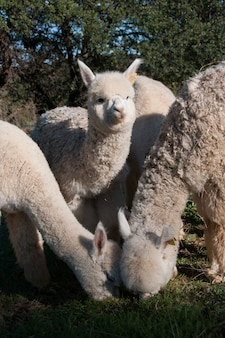 Expression grass camelids field animal baby