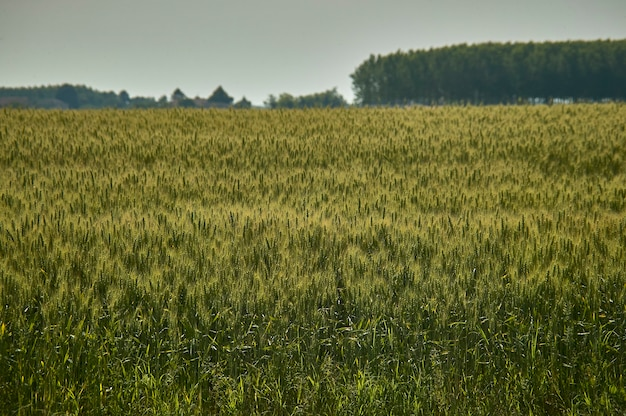 Extensive cultivation of grain for human nutrition. wheat field in the summer sun.
