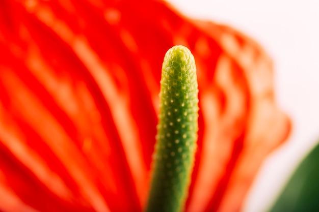Extreme close-up of anthurium flower
