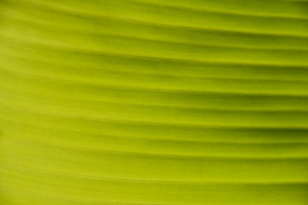 Extreme close up background texture of backlit bright green palm leaf with veins