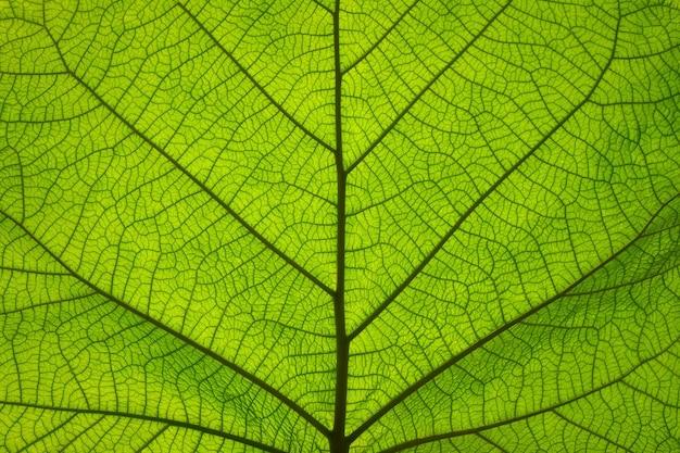 Extreme close up background texture of backlit green leaf veins