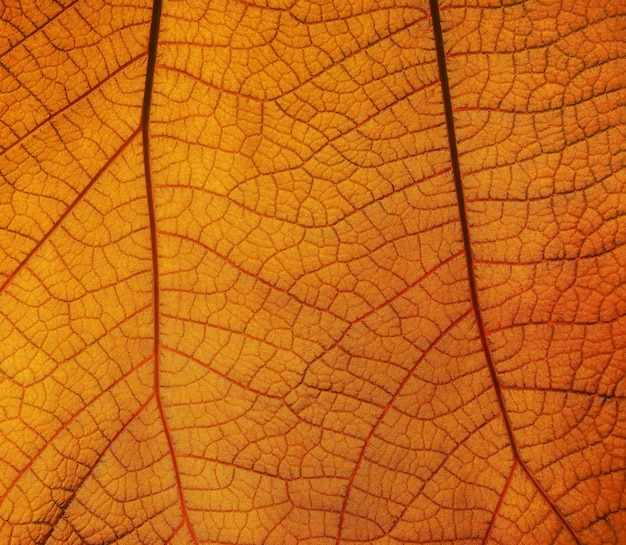 Extreme close up background texture of backlit orange autumn leaf with veins pattern