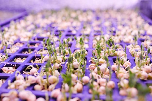 苗床温室、コピースペースで光に達する小さな緑の芽の極端なクローズアップ