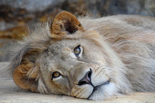 美しいたてがみを持つかわいいオスのアフリカのライオンの極端なクローズアップの肖像画、地面に休んで横たわってカメラを見て、ローアングルビュー