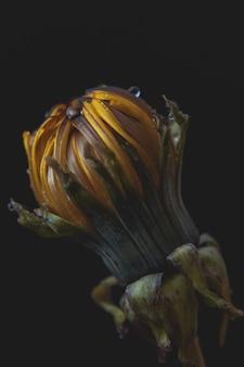 Extreme closeup of a beautiful blown dandelion