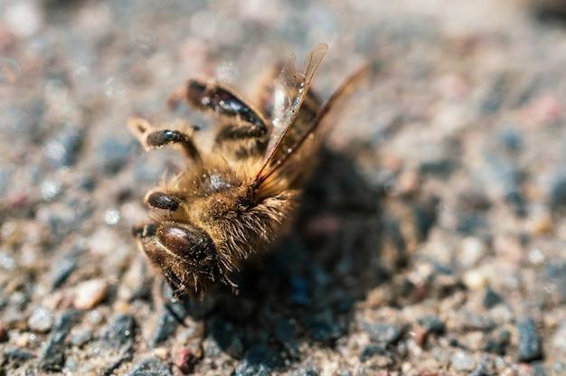 Primo piano estremo di un'ape morta su una superficie di ciottoli