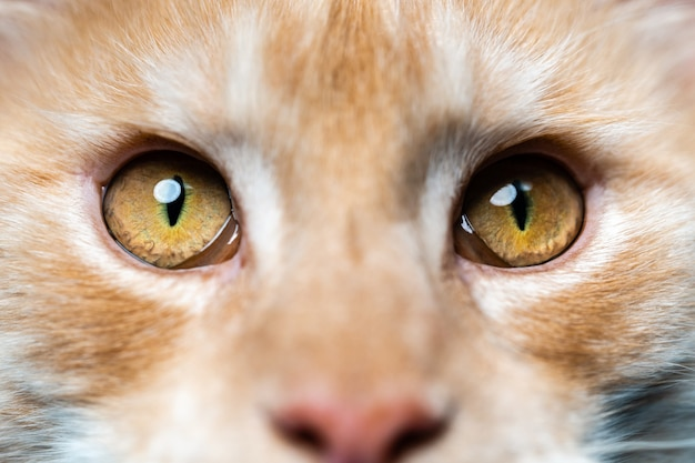 Extreme closeup portrait of american coon cat looking camera pretty longhair red tabby maine coon