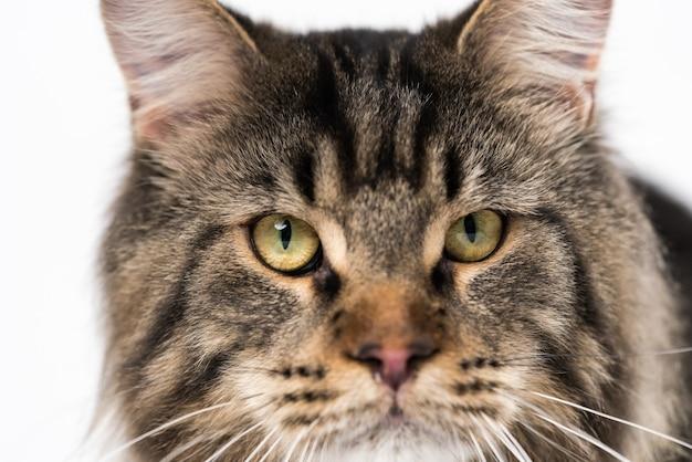 Чрезвычайный крупным планом портрет макрель полосатой кошки мейн-кун, смотрящей в камеру
