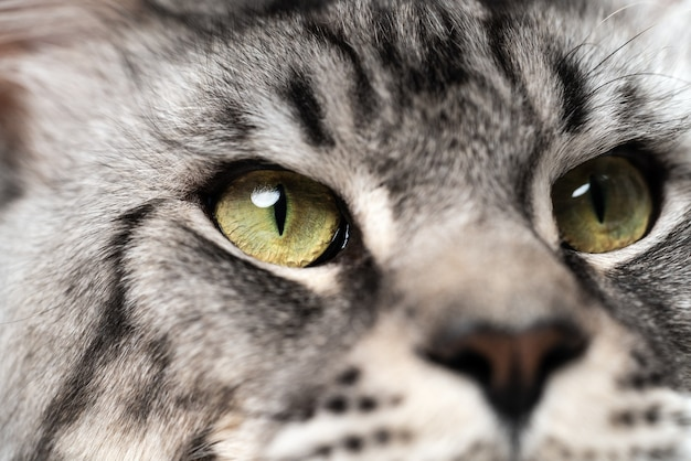 큰 눈 찾고 고등어 얼룩 무늬 메인 쿤 고양이의 극단적인 근접 촬영 초상화
