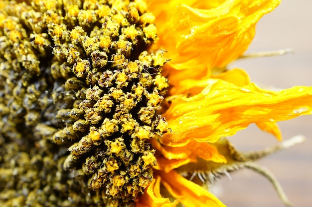 Extreme closeup shot of a dried sunflower