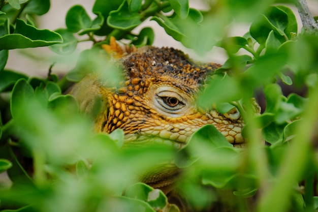 Extreme closeup shot of an iguana hiding in plants