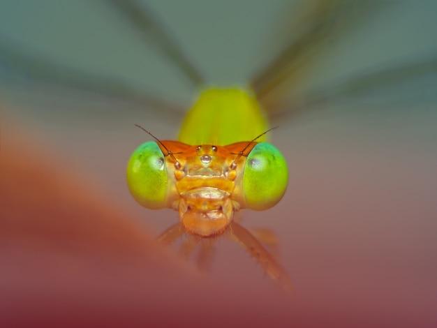 Extreme macro shot eye of zygoptera dragonfly in wild